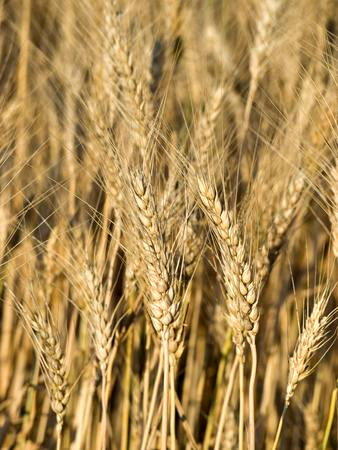 Dr. Teitelbaum had impressive results from removing wheat. 78% in fact.