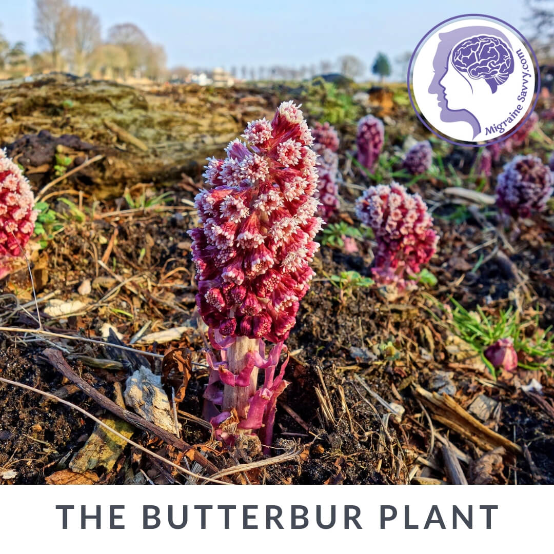 Migraine Home Remedies Butterbur