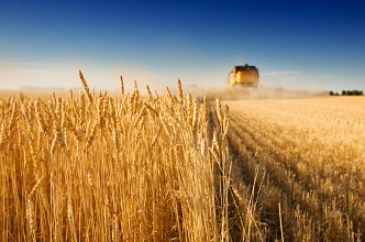 Migraines and Gluten Wheat Field